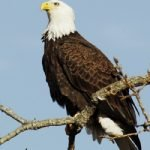 $5,000 Reward Offered In Shooting Of Bald Eagle In Rocky Hill